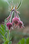 Prairie Smoke wildflower buds in Montana