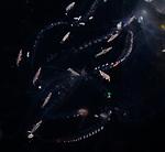Amphipods on Comb Jellyfish , Plankton, pelagic marine life, Gulfstream Current, Atlantic Ocean, SE Florida,USA.