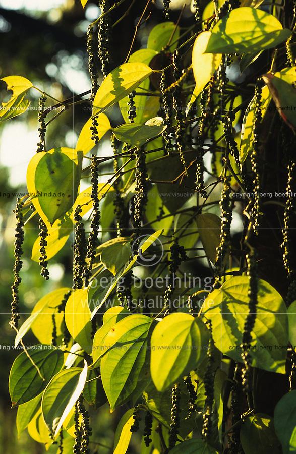 INDIA Kerala, Idukki District, Peermade, Cardamom Hills, organic and fairtrade pepper project of PDS Peermade Development Society, plant with green pepper berries, after harvest they will be dried in the sun / INDIEN Kerala, Kardamom Berge, Peermade Society, Anbau von fairtrade und Bio Pfeffer, Strauch mit gruenen Pfefferbeeren, nach der Ernte werden sie in der Sonne getrocknet bis sie schwarz werden