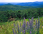 Shenandoah National Park, VA<br /> Vipers bugloss (Echium vulgare) blooming  at Rattlesnake Point with the Shenandoah Mountains in the distance