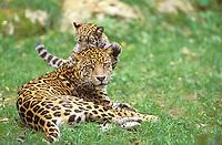Jaguar, jaguars (panthera onca), endangered species, predatory cats, predators, mammals, animals, Mother and Cub Playing