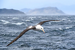 A black-browed albatross (Thalassarche melanophris) in flight. Straits of Magellan, Patagonia, Chile