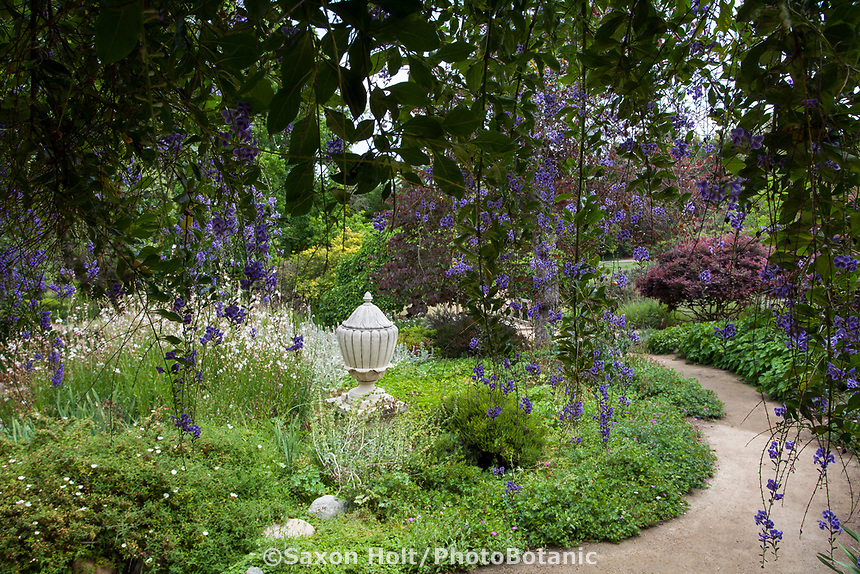 Urn focal point in Kallam Perennial Garden seen through blue flowering Duranta erecta , Los Angeles County Arboretum
