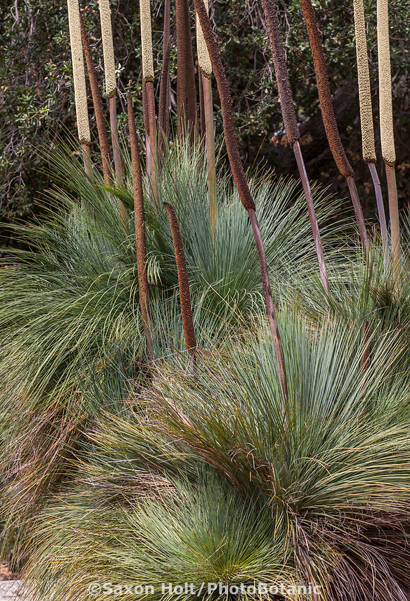Xanthorrhoea quadrangulata Square-leaf Australian grass tree, Los Angeles Botanic Garden