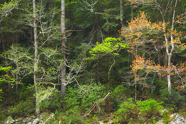 Spring hues paint the forest edge along the Chattooga, Chattooga National Wild and Scenic River, South Carolina and Georgia
