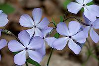 Close-up of Wild Blue Phlox (Phlox divaricata), also referred to as Woodland Phlox or simply Blue Phlox. Spring ephemeral wildflower of woodlands of eastern North America. Franklin County, Ohio, USA.