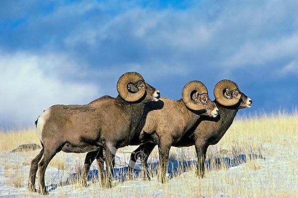Bighorn Sheep Rams (Ovis canadensis).  Western U.S., fall.