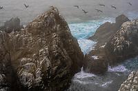 Point Lobos, Pelicans