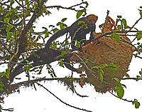 Tayras robbing bees nest