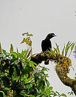 Female long-wattled umbrellabird