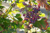 Weinrebe, Wein, Weintraube, Weintrauben, Wein-Rebe, Vitis vinifera, Grape Vine, grape, grapes