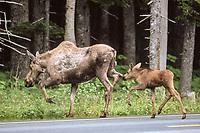 moose, Alces alces, cow and newborn calf cross a road on the Kenai Peninsula, southcentral, Alaska, USA