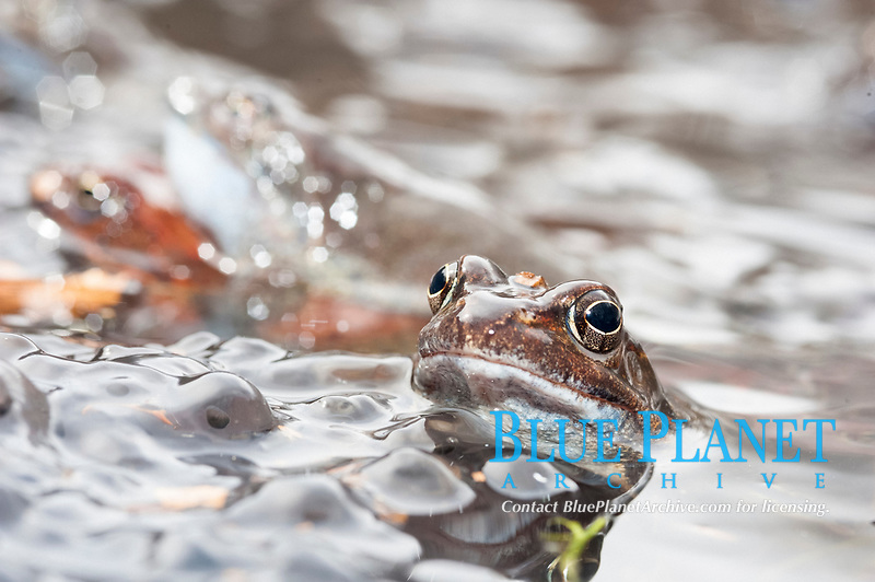 common frog, Rana temporaria, with eggs in icy little lake in Val d'Aveto, Liguria, Italy, Europe