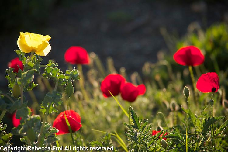 Wild red poppies (Papaver rhoeas) and yellow-horned poppy (Glaucium flavum) on the Karaburun Peninsula, Aegean coast of Turkey