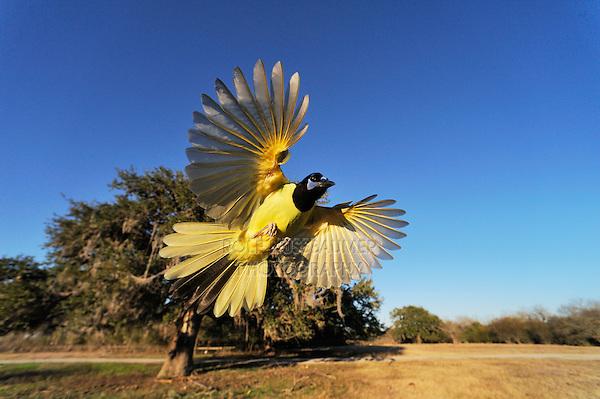 Green Jay (Cyanocorax yncas), adult in flight, Dinero, Lake Corpus Christi, South Texas, USA
