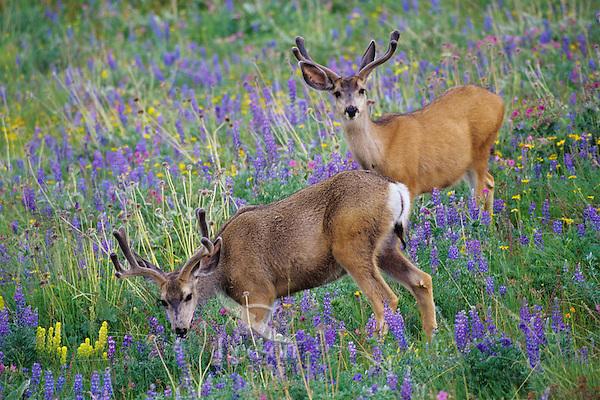 Two Mule Deer bucks in grasslands covered with wildflowers.  Western U.S., June.