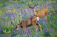 Two Mule Deer bucks in grasslands covered with wildflowers.  Western U.S., June.