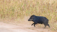 Despite many trips to the tropics, this was actually my first glimpse of the dangerous white-lipped peccary.