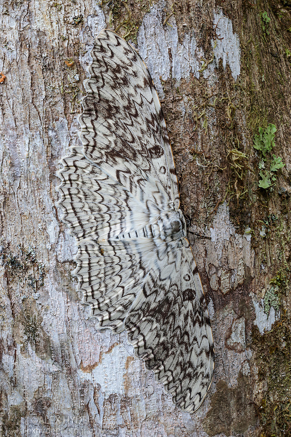 White Witch Moth (Thysania agrippina) camouflaged on tree trunk in cloud forest. This species rests by day with its body perpendicular to the tree trunk. Manu Biosphere Reserve, Amazonia, Peru.