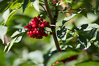 Roter Holunder, Trauben-Holunder, Traubenholunder, Bergholunder, Berg-Holunder, Reife Früchte, Sambucus racemosa, Red Berried Elder, Red Elderberry, fruit, Sureau à grappes, Sureau rouge