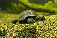 Wasserschildkröten im Innsbrucker Alpenzoo - Innsbruck 03.06.2021: Alpenzoo