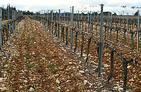 Chateau Peuch-Haut, St Drezery. Gres de Montpellier. Languedoc. Vines trained in Cordon pruning. Terroir soil. France. Europe. Vineyard. Soil with stones rocks.