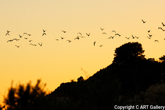 Terns flying west at sunset.