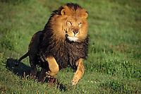 African lion (Panthera leo) male