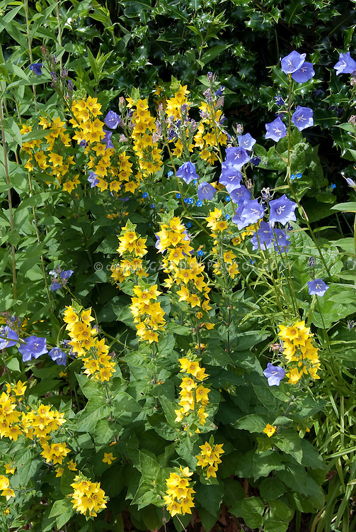 Campanula persicifolia and Lysimachia punctata for blue and yellow flower color theme garden