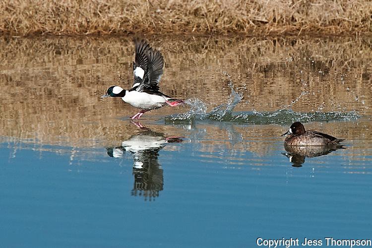 Bufflehead takes off in flight, Inks Dam Fish Hatchery