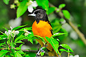 00865-028.16 Baltimore Oriole male is perched in a crab apple tree with white blooms. Spring, orange, landscape, backyard.