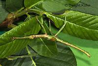 OR07-592z  Jamaica Stick-Insect nymph, Aplopus jamaicensis, Jamaica