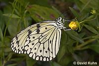 0401-08mm  Tree Nymph Butterfly - Idea leuconoe © David Kuhn/Dwight Kuhn Photography