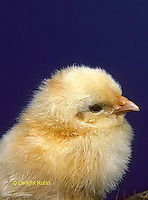DG13-008x  Chick Embryology -fluffy chick newly hatched