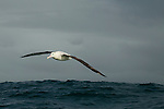 Gibson's Albatross (Diomedea antipodensis gibsoni) gliding over ocean, Kaikoura, South Island, New Zealand