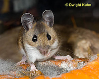 MU59-527z  Deer Mouse on Pumpkin, Pumpkin decomposing from molds, Peromyscus maniculatus