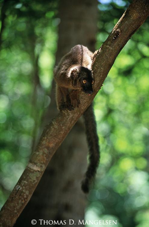 A female black lemur sits in a tree on Mayotte Island, Comoros.