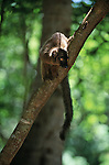 A female black lemur sits in a tree on Mayotte Island, Comoros.