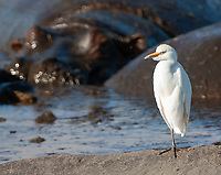 Many Cattle Egrets were hanging out with the hippos in the middle of the Ngorongoro Crater.