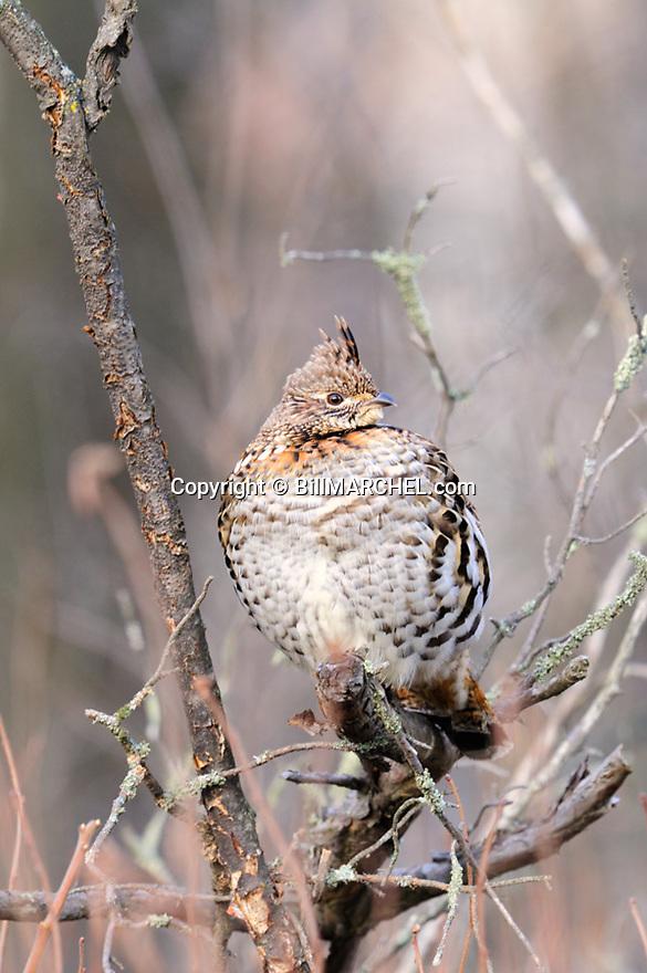 00515-076.10 Ruffed Grouse is perched low in dead tree.  Hunt, ruff, fall, winter, late season.