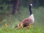 Canadian goose with goslings in spring.