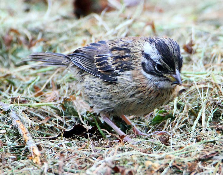 Juvenile rufous-collared sparrow