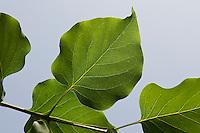 Garten-Flieder, Flieder, Blatt, Blätter vor blauem Himmel, Syringa vulgaris, Common Lilac, French Lilac