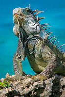 common or green iquana, Iguana iguana, Bonaire, Netherland Antilles, Caribbean Sea, Atlantic Ocean