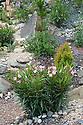 Oleander in Discover Jordan show garden, Hampton Court Flower Show 2012.