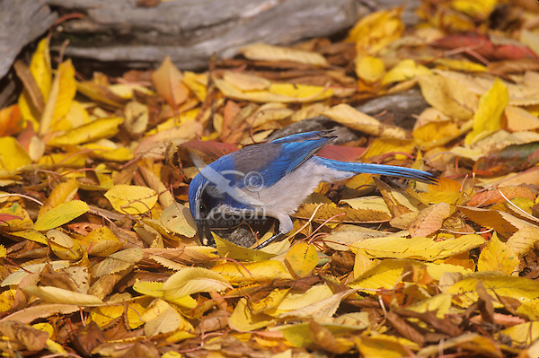 California scrub jay or Western Scrub Jay (Aphelocoma californica) caching seed/nut among fall leaves,  Pacific Northwest.  Fall.