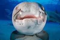 nurse shark, Ginglymostoma cirratum, Grand Bahama Bank, Bahamas, Caribbean Sea, Atlantic Ocean