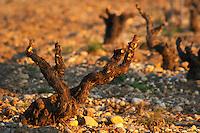 A grenache vine at  chateau des fines roches, Chateauneuf-du-Pape, Vaucluse, Rhone, Provence, France