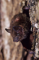 Evening Bat, Nycticeius humeralis, adult climbing on tree bark, The Inn at Chachalaca Bend, Cameron County, Rio Grande Valley, Texas, USA, May 2004