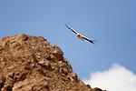 Himalayan Griffon (Gyps himalayensis) vulture flying, Pikertyk, Tien Shan Mountains, eastern Kyrgyzstan
